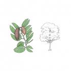 Hymenea courbaril  (syn. H. stilbocarpa)