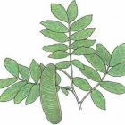 Inga densiflora Benth.