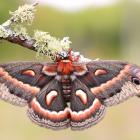 Hyalophora cecropia (ailes ouvertes)