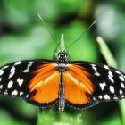 Heliconius hecale (opened wings)