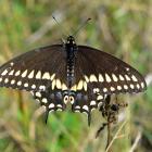 Papilio polyxenes (ailes ouvertes)