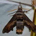 Abbott's sphinx
