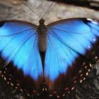 Morpho helenor (ailes ouvertes)