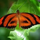Dryadula phaetusa (ailes ouvertes)