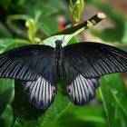 Papilio rumanzovia (mâle)