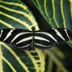 Heliconius charithonia (ailes ouvertes)