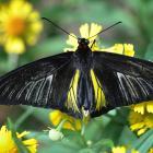Troides rhadamantus (ailes ouvertes)