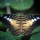 Parthenos sylvia sylvia (ailes ouvertes)