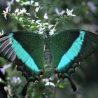 Papilio palinurus (ailes ouvertes)
