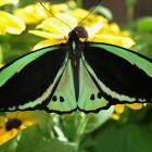 Ornithoptera priamus (mâle)