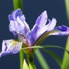 Iris versicolore, l'emblème floral du Québec