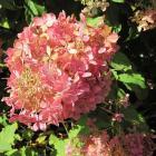 Hydrangea paniculata 'Mega Pearl'