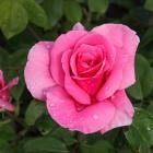 Rosa 'Earth Song'
