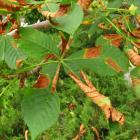 Horsechestnut leaf blotch