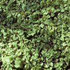 Lamium galeobdolon 'Variegatum'