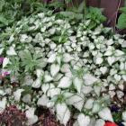 Lamium maculatum 'Beaconsilver'
