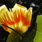 Liriodendron tulipifera.