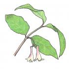 Lonicera canadensis