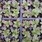 Viola seedlings