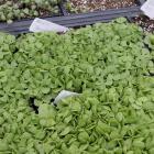 Basil seedlings (Ocimum basilicum)