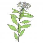 Oclemena acuminata (anc.: Aster acuminatus)