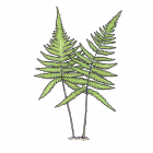 Phegopteris connectilis (Dryopteris Phegopteris)