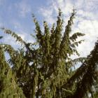 Picea abies.