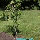 Young oak tree and pile of soil.