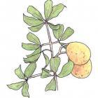 Platonia insignis Mart.