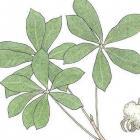 Pseudobombax septenatum (Jacq.) Dugand