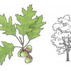 Quercus rubra (anc. Q. borealis)