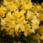 Rhododendron 'Lemon Lights'.