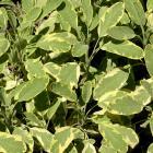 Salvia officinalis 'Aurea'