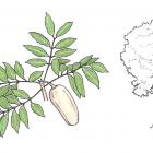 Swietenia macrophylla G. King