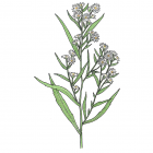 Symphyotrichum lanceolatum (anc.: Aster simplex)