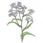 Symphyotrichum puniceum (syn. Aster puniceus)
