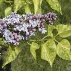 Syringa vulgaris 'Dappled Dawn'