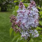 Syringa vulgaris 'Heavenly Blue'.