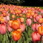Massif de tulipes (Tulipa cv.).