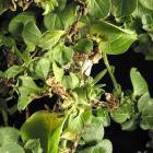 Verticillium dahliae