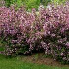 Weigela florida 'Purpurea'.
