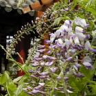 Wisteria floribunda 'Lawrence'.