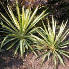 Yucca filifera 'Golden Sword'