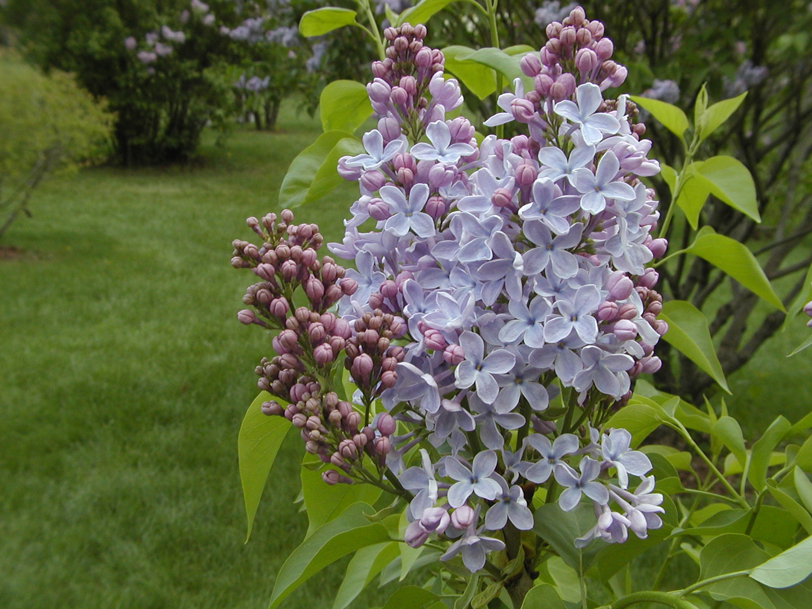 Lilacs | Space for life